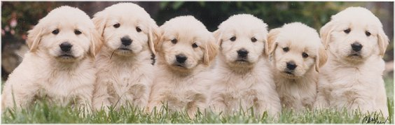 Golden retriever puppies breeders florida